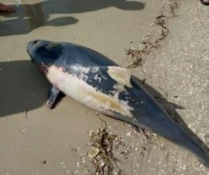 На запорожском курорте нашли мертвого дельфина