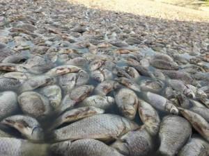 Официально: берега запорожской реки покрыты горами мертвой рыбы