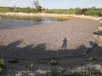 Массовая гибель рыбы в Запорожской области случилась из-за жары и «ничейной» дамбы