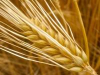 Ячмень с почти 40 гектаров запорожских полей запретили продавать в Китай