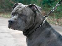 В полиции завели дело против запорожца, натравившего бойцовского пса на дворняжку