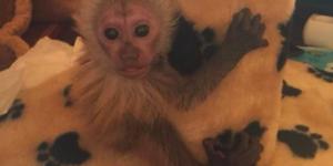 Детеныш обезьяны ест свой первый абрикос – работники бердянского зоопарка поделились забавным видео