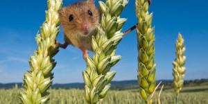 Из-за нашествия мышей урожай в Запорожской области под угрозой