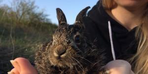 Запорожская зоозащитница выхаживает принесенного двухдневного зайчонка (Фото)